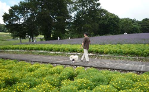 マリーゴールドとラベンダー畑.jpg