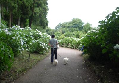 小野池あじさい公園-2.jpg