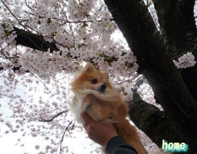 桜とほーむ.jpg