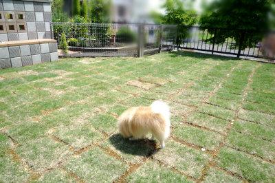 芝生をくんくん中のほーむ.jpg
