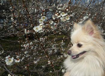 梅の花とあろー.jpg