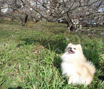 梅の花を見上げるほーむ.jpg