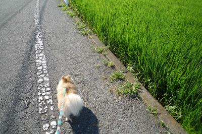 水田横の道にて.jpg